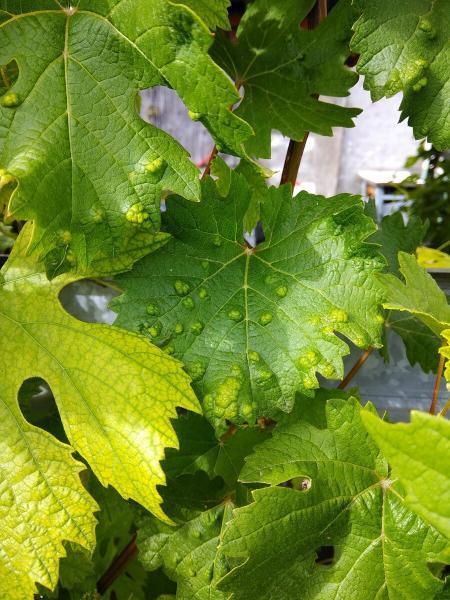 Что сделаю с виноградом в начале июля, чем подкормлю