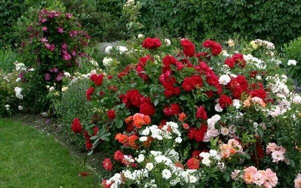 Как разместить розы в саду: правила для новичков