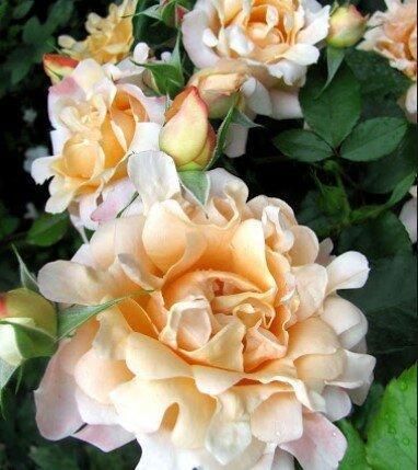 Кружевные розы - экзотические гостьи в наших садах