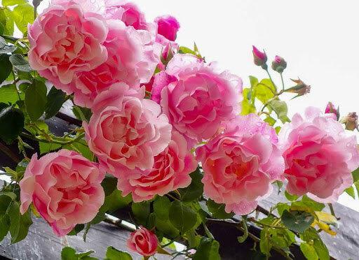 Летний уход за розами: добиваемся обильного цветения