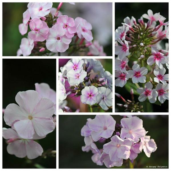 Мой сад в конце июня: цветут флоксы, розы и клематисы