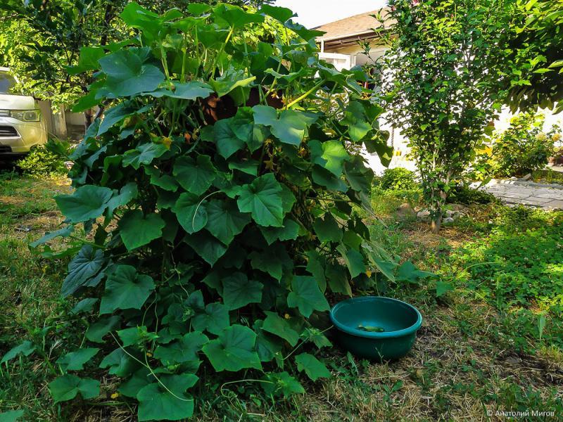Огуречная бочка: красиво, урожайно и занимает мало места