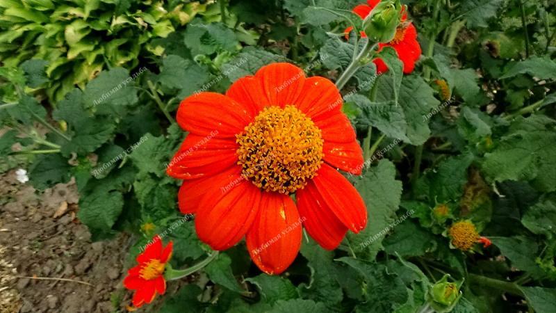 ТИТОНИЯ -жаростойкий однолетний цветок