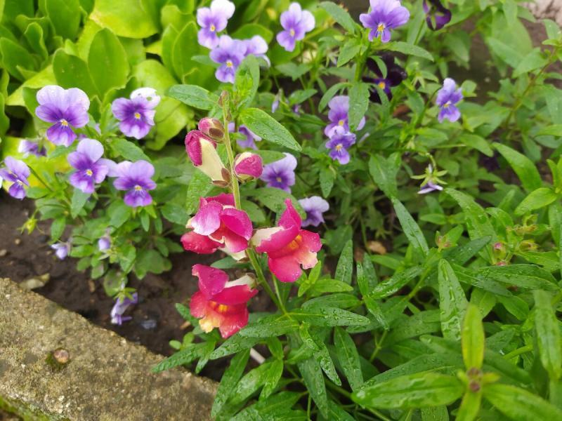 Виола (Анютины глазки цветок): приятно посмотреть без повода