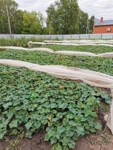 Желтеют листья на огурцах. Как спасти урожай.