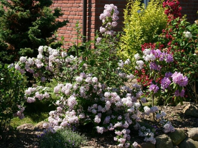 Декоративные кустарники в цветнике: 3 фаворита цветения