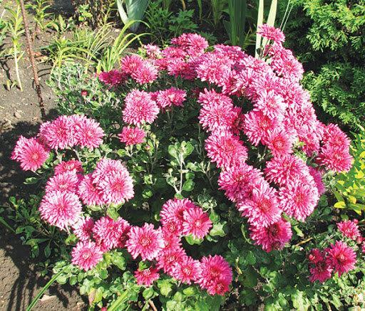 Хризантема - цветок счастливых людей