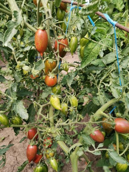 Сорт томата, который больше всего любят мои дети.