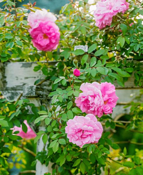 12 самых красивых цветущих лиан
