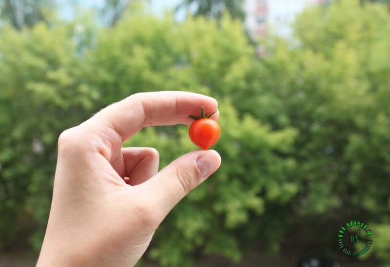 Какие помидоры я вырастила на балконе: показываю результаты