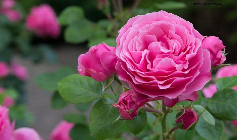 Каждый год утепляю розы бесплатным материалом - делюсь опытом