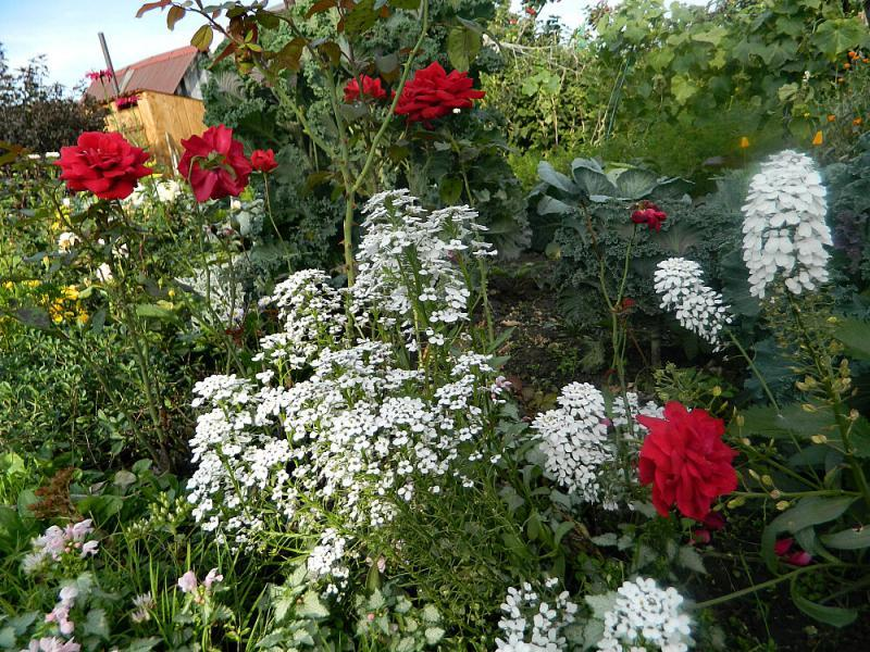 Однолетние цветы, которые можно посеять осенью