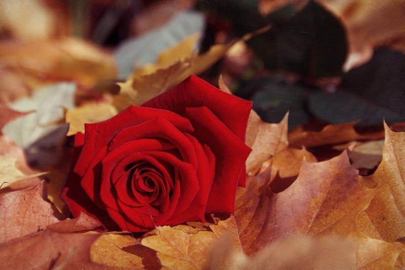 Подготовка роз осенью к укрытию на зиму