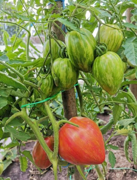 """Томат """"Дон Жуан"""" : раннеспелый, урожайный и очень вкусный."""