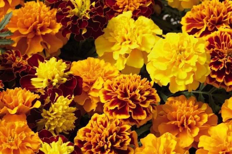 Топ-10 цветов для яркого, веселого цветника
