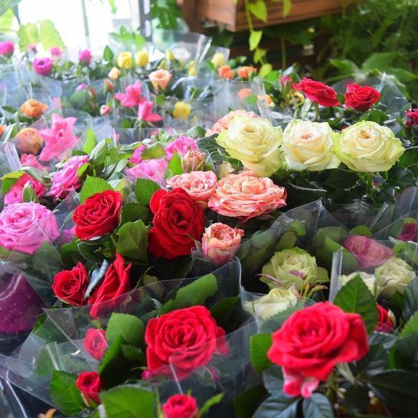 Что делать, если домашняя роза засыхает?