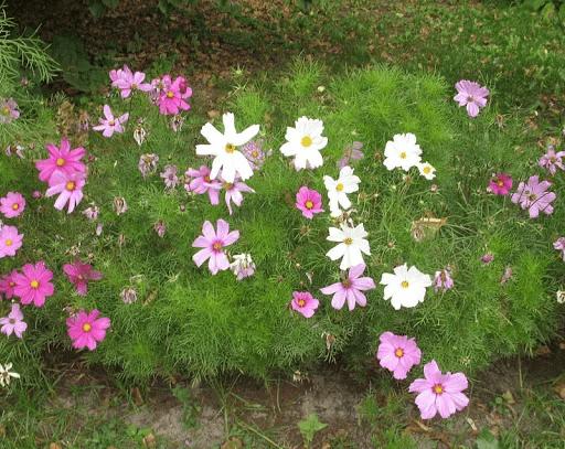Цветы-клумбы и цветы-букеты: какие однолетники дают пышные кусты, усыпанные бутонами