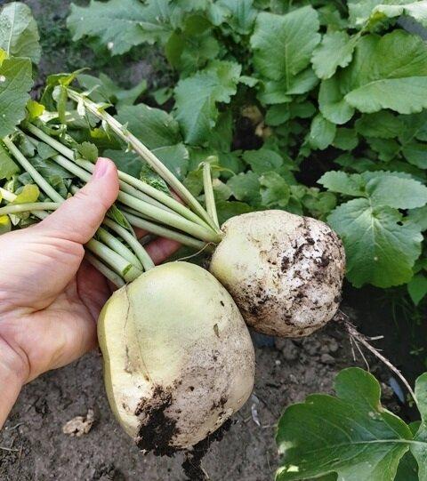 Дайкон выращиваю только так, каждый год получаю шикарный урожай
