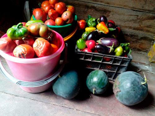 Есть ли риск остаться без урожая, если раздавать излишки овощей?