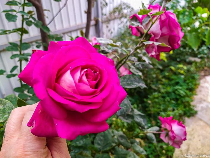Как хороши, как свежи были розы в октябре