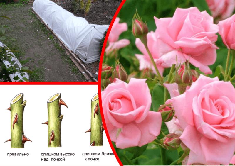 Когда и как лучше укрывать розы. Мой опыт меня не подводит ♡