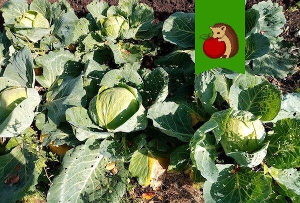 Когда убрать капусту с грядок, чтобы она лучше и дольше хранилась?