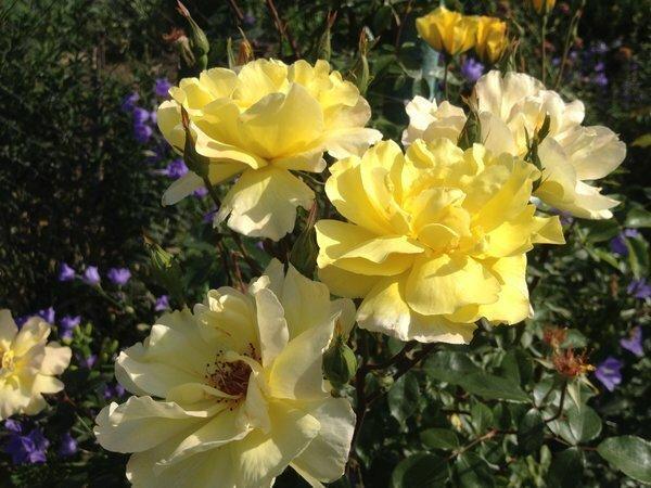 Насколько безжалостной должна быть обрезка розы перед зимовкой? (Высокие розы тоже обрезаем ?)