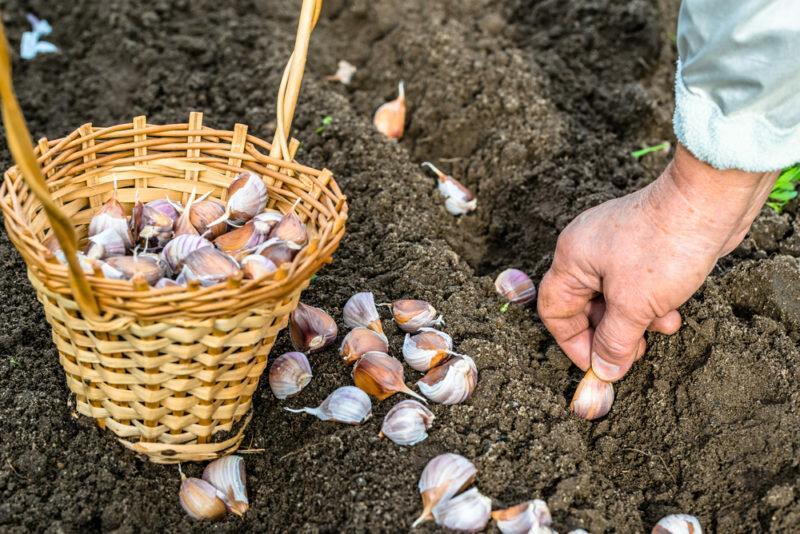 Правила чередования культур — после чего высаживают чеснок