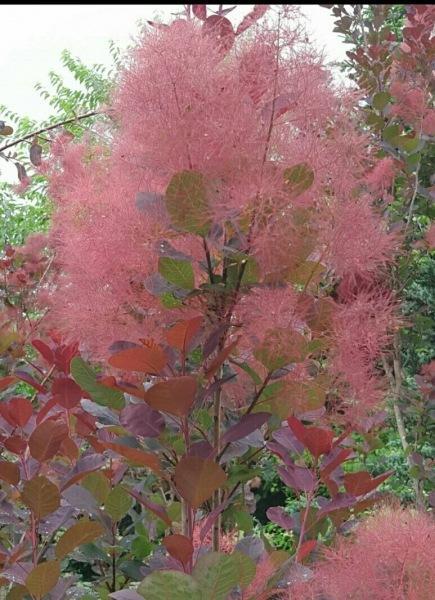 Розовое облако в саду: великолепная скумпия