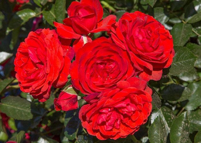 Розы, самое лучшее средство от ржавчины