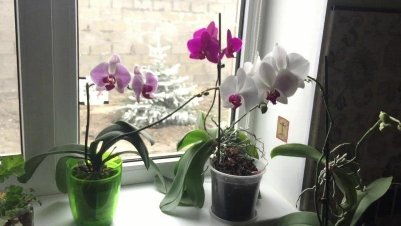 Случайно узнала рецепт подкормки, после которой все орхидеи стали выпускать цветоносы