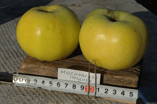Сорт яблок, который хранится до 720 дней (по некоторым данным). Крупные яблоки, устойчивый к парше, зимостойкий