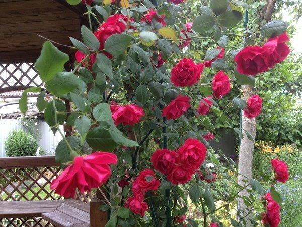 Вопрос перед зимовкой розы: обязательно ли нужно обрезать листья?