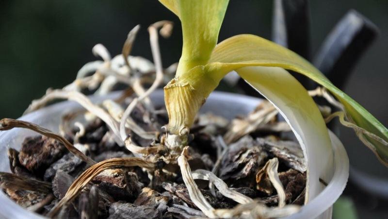 Засыхает Орхидея? Лучший способ помочь растению, которым пользуюсь уже Долгое время