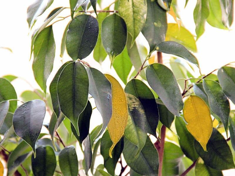 Желтые листья фикуса Бенджамина: причины и способы спасти цветок