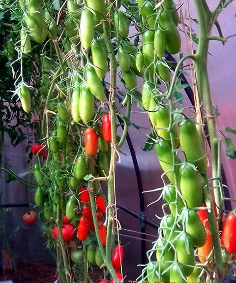 10 урожайных сортов, с которыми никогда не расстанусь