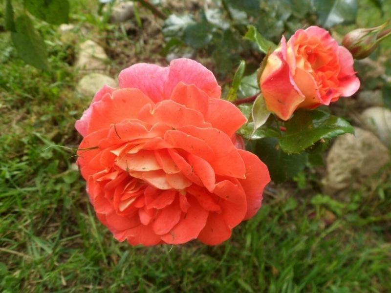 102 розы.🌹 Гебрюдер Гримм. Флорибунда.