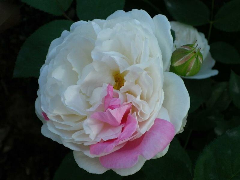 102 РОЗЫ. 🌹Винчестер Кэседрал. Кустовая роза селекции Дэвида Остина.