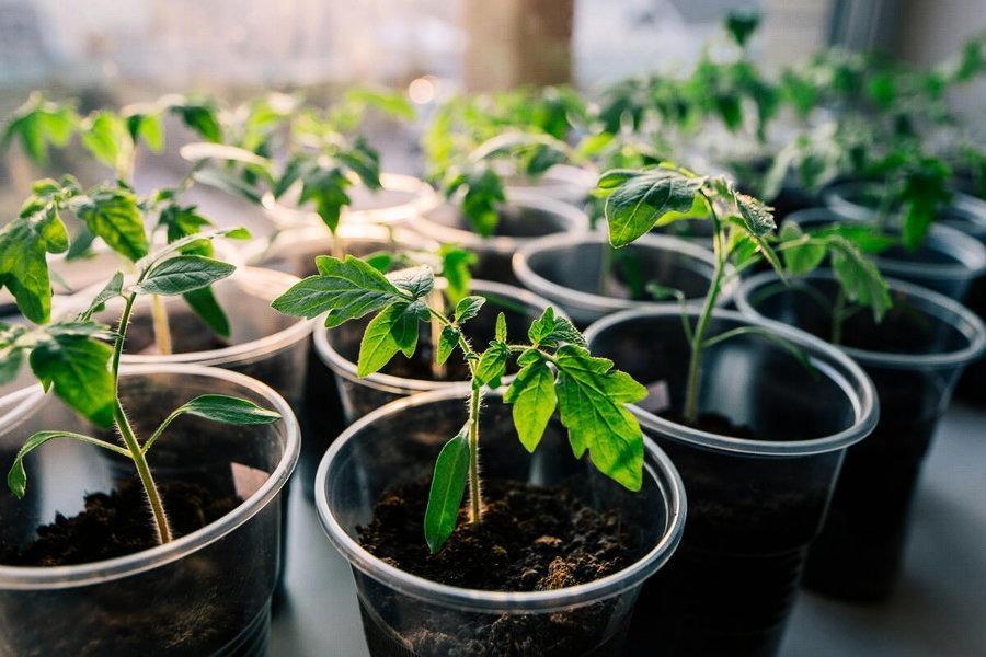 Секреты крепкой здоровой рассады томатов