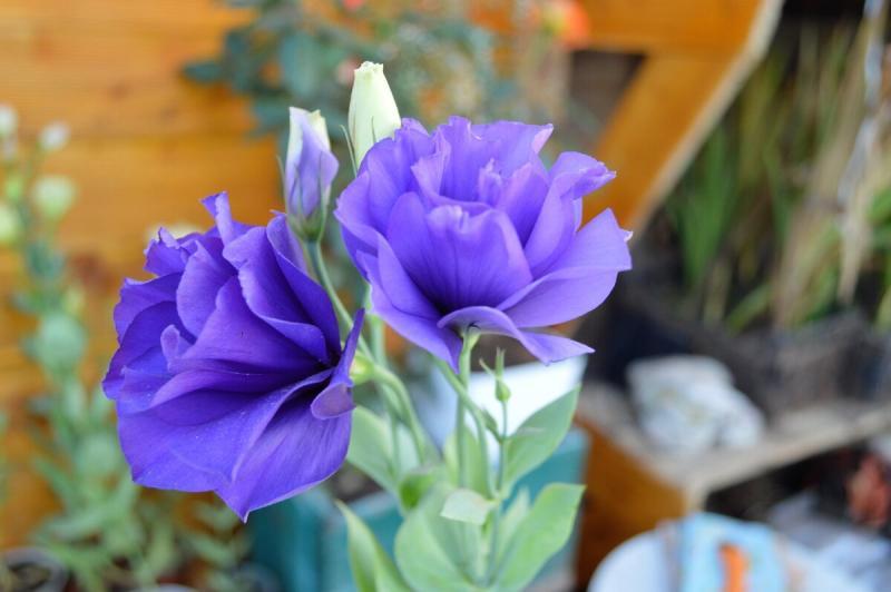 Что делать с эустомами осенью, чтобы цвели всю зиму и в лето с цветами уходили. Делюсь нюансами ухода
