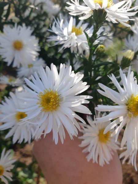 "Что за цветы мы называем ""сентябринками"""