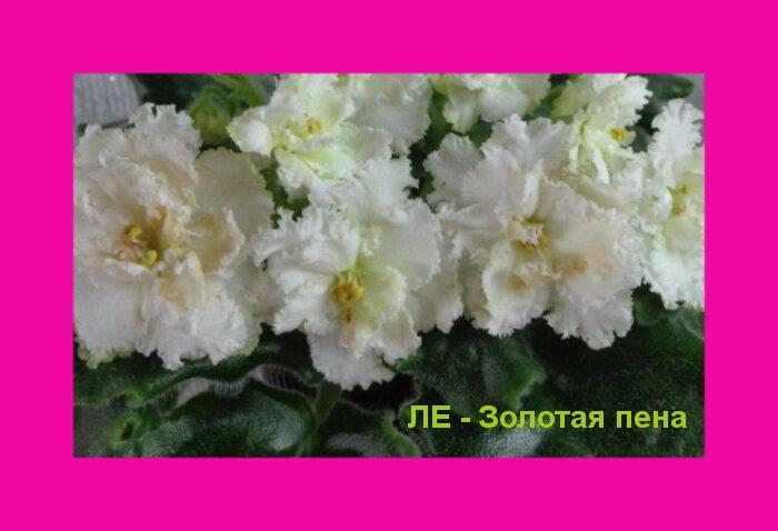 Фиалки селекции Е. Лебецкой (фотоматериал)