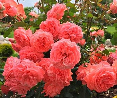Густомахровые розы
