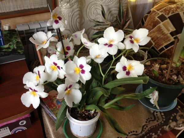 Как размножить орхидею, получить детки