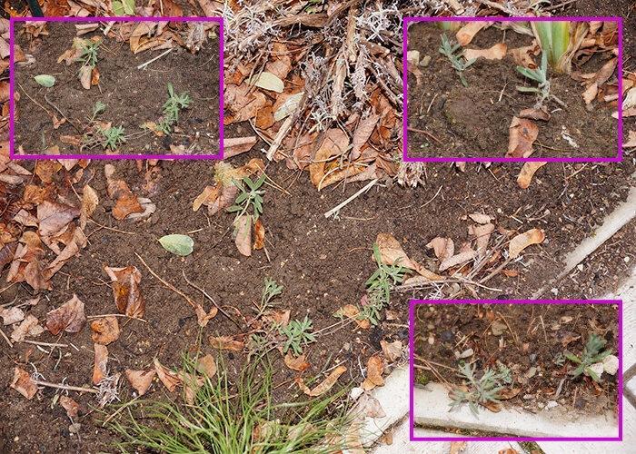 Лаванда, как легко и быстро размножить кустарник