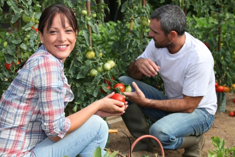 Лучшие низкорослые сорта томатов для дома и огорода