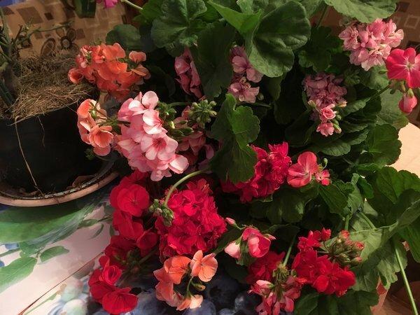 Лучший способ размножения герани: цветущие черенки
