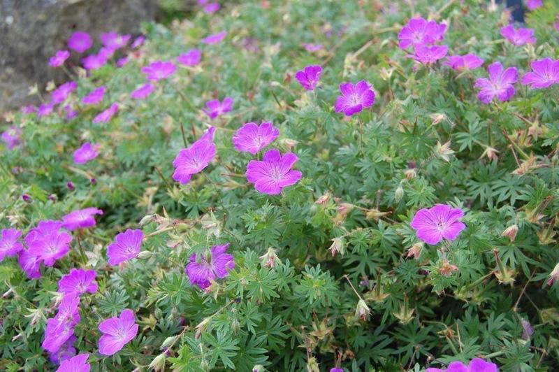 Многолетние растения, цветущие все лето