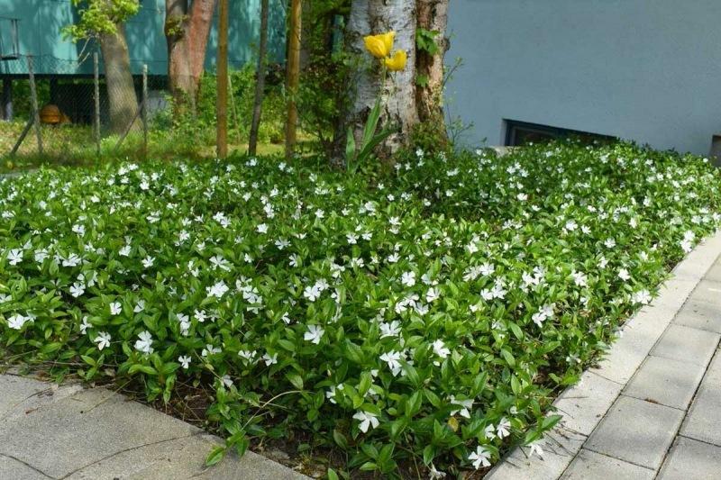 От каких растений в саду практически невозможно избавиться