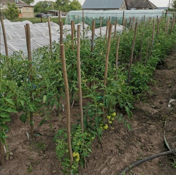 Почему у меня на даче так быстро погибают помидоры и огурцы?